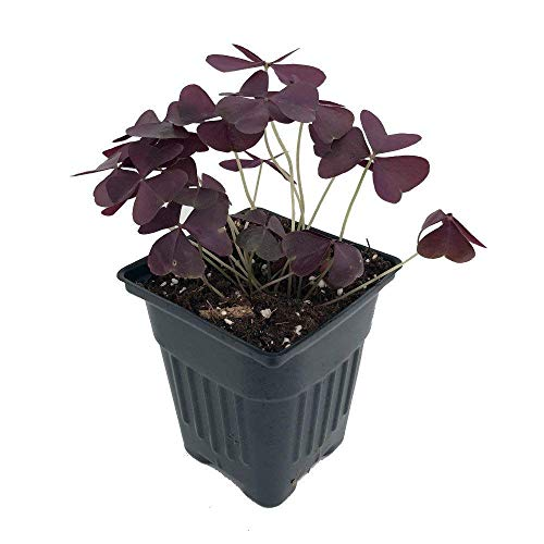 (Rare 'Purple Rain' Shamrock Plant - Easy Houseplant - Oxalis - 4