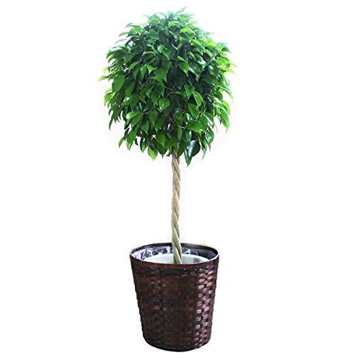 ベンジャミン 観葉植物 鉢カバー付 ゴムの木 インテリア 大型 おしゃれ B06XD5KMWX