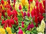Nianyan 150 MIXED PLUMES COCKSCOMB Celosia Plumosa Flower Seeds