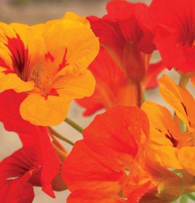 Davids Garden Seeds Flower Nasturtium Kaleidoscope Mix D1882 (Multi) 50 Non-GMO, Organic Seeds
