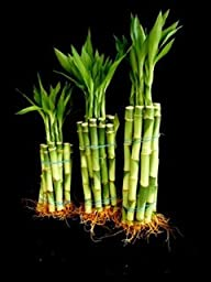 Betterdecor- 30 Stalks of Straight Lucky Bamboo (4\