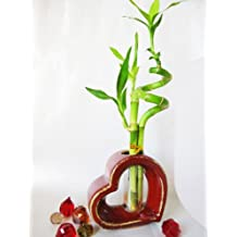 9GreenBox - Live Spiral 3 Style Lucky Bamboo Plant Arrangement w/Heart Shape Ceramic Vase