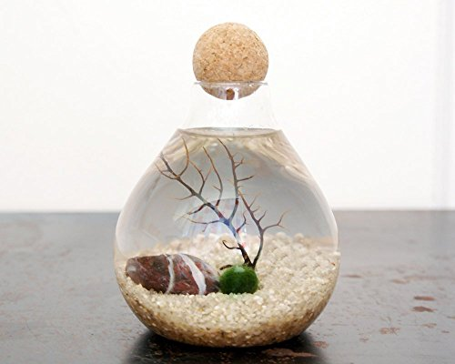 Marimo Moss Ball Terrarium ()