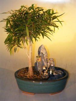 Amazon Com Willow Leaf Ficus Bonsai Tree Stone Landscape Scene Ficus Nerifolia Salisafolia Garden Outdoor