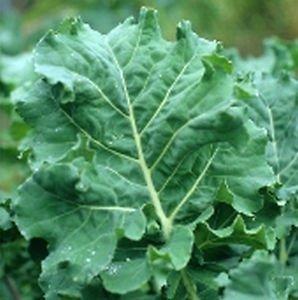 Kale Premier Great Heirloom Vegetable Seeds