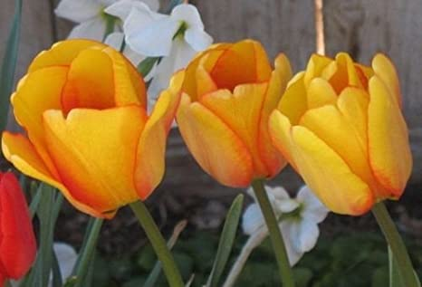 Amazon 14 Bulbs Of Blushing Oxford Tulip Yellow Flower Bulb