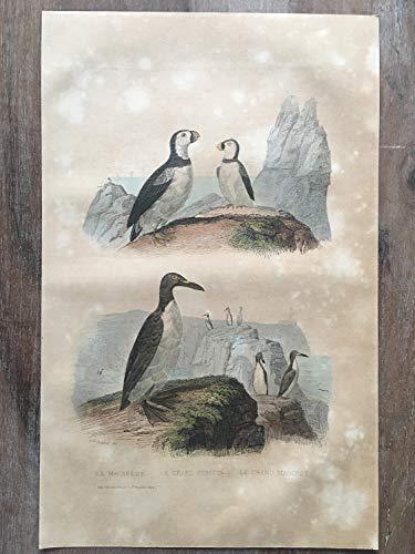 - 1870 Bird Original Antique Engraving, Hand Colored Engraving, Birds Engraving, Bird Art, Antique Bird Print, Antique Penguin Print