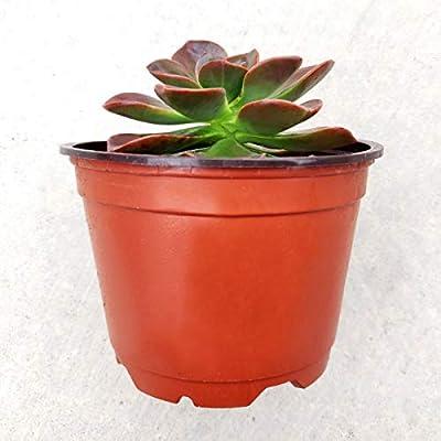Echeveria Melaco Brown Rose Succulent (4 inch) : Garden & Outdoor