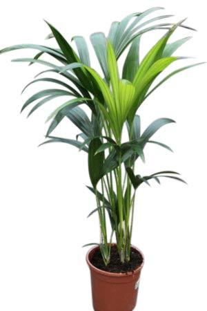 Zimmerpflanze für Wohnraum oder Büro – Howea Forsteriana ...