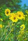 Helianthus (Perennial Sunflower) mollis Downy 1,000 seeds