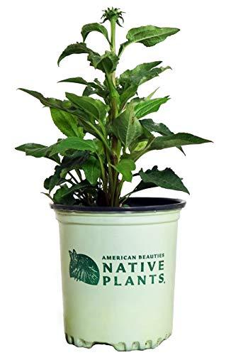 American Beauties Native Plants - Echinacea 'Green Twister' (Coneflower) Perennial, pink & green flowers, 1 - Size Container (Echinacea Coneflower Plant)