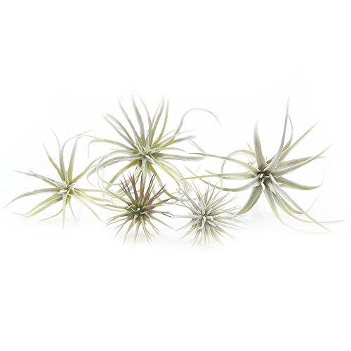 Chive - Set of 5 Fake Artificial Faux Tillandsia Air Plants Bromeliads for Indoor/Outdoor Garden and Home Decor, Terrarium Decorations, Arrangements, and Display (Small)