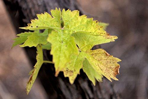 grape leaf poster - 1