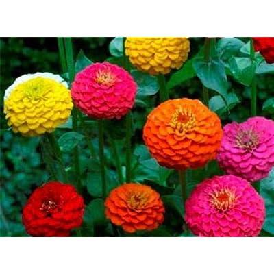 "Zinnia Seeds 100 + Fresh Seeds Zinnia Seeds""Pumila"" /""Cut & Come Again"" ZinniaBy AchmadAnam : Garden & Outdoor"