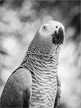 Posterlounge Acrylic print 30 x 40 cm: African grey Parrot in gray by Editors Choice