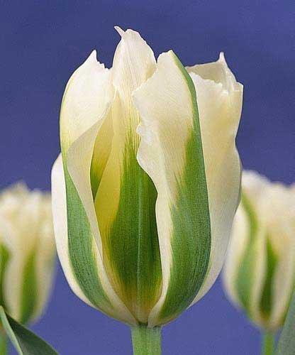 SILKSART Spring Green Viridiflora Tulip - 8 Bulbs - 12/+ cm - Flowering Cluster African