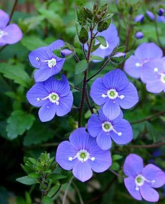 Classy Groundcovers - Veronica 'Georgia Blue' 'Oxford Blue', Cambridge Blue', Speedwell 'Georgia Blue' {25 Pots - 3 1/2 in.}