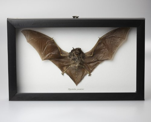 Museum Quality Real Taxidermy Bat In Glass ~ Professionally Set in Glass Shadowbox with Black Frame 10