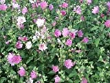 200 ROSE MALLOW (Bush Mallow) Hibiscus Lavatera Trimestris Flower Seeds