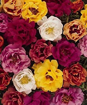 Fash Lady 50 Moss Rose Tequila Mix Portulaca Anual Succulent
