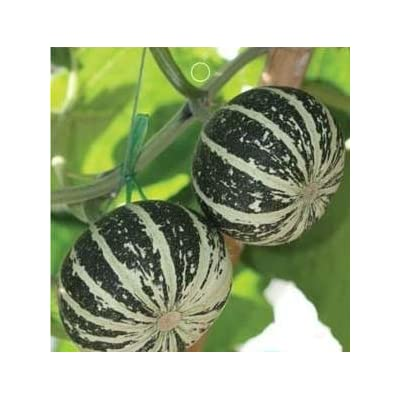 SD0570 Mixed Color Small Melon Seeds, White Striped, 60-Days (8 Seeds) : Vine Plants : Garden & Outdoor