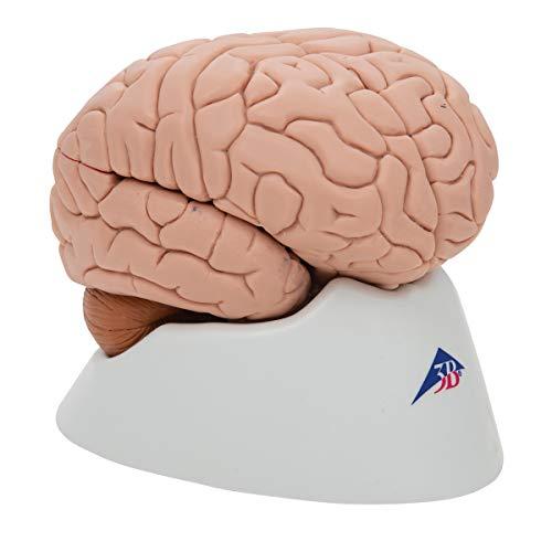 3B Scientific Deluxe 8-Part Brain by 3B Scientific (Image #1)