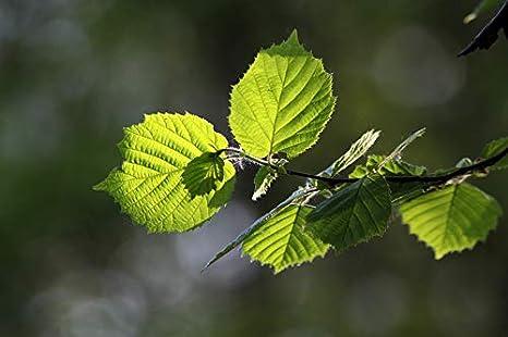Trees By Post Hazel Trees x 1 Corylus avellana Hazelnut