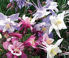 Columbine Mixed Colors Dwarf Aquilegia Vulgaris - 2,000 Bulk Seeds - Columbine Mixed Colors