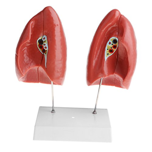 Homyl 1:1 Removable 4 Parts Human Lung Model with Base Laboratory Learning Science Toy PVC Material