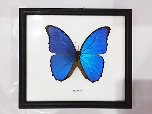 Rare Butterfly Insect Real Framed Display Taxidermy Moth Very Unmounted 3 Gift Female Frame Papilionidae Butterflies 2 A1 Papilio, Morpho 1/set