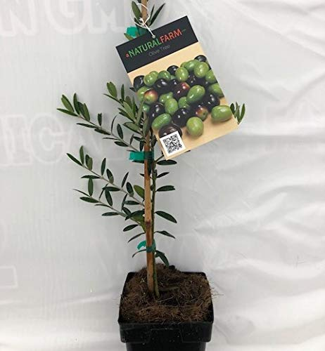 Olive Tree Live Arbequina 2' to 3' Tall, Cold Hardy, Grown organically Includes Organic Fertilizer & Care Instructions