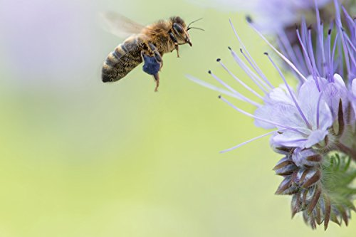 Southwest Transitional Honey Bee Pasture Blend (1000 sq ft)