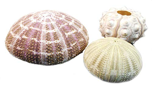 Decorative Sea Urchin Sampler: Natural Sputnik, Green and Alfonso Nautical Beach
