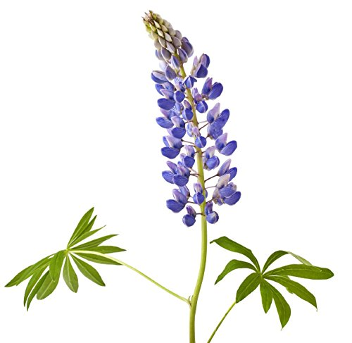 Texas Bluebonnets - Approx. 2000 Seeds -1/8 Pound - Texas State Flower