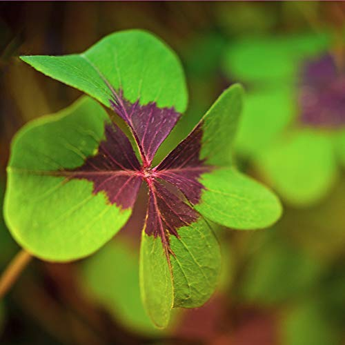 Oxalis Deppei Iron Cross - Ready to Plant Bulbs | Ships from Leafari TM