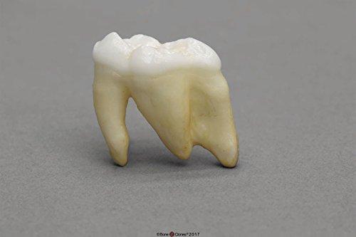 Sperm Whale Tooth - KO-213 - Sperm Whale Tooth - BoneClones Replica Teeth - Each