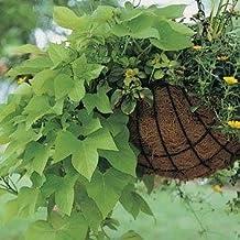 """Ipomea (Sweet Potato Vine) Marguerite--4 Plants 4.33"""" pot"""