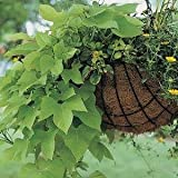 "Ipomea (Sweet Potato Vine) Marguerite--4 Plants 4.33"" pot"