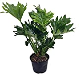 """Hope Philodendron - Easy to Grow House Plant - 6"""" Pot"""