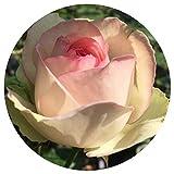 Eden Climber Rose