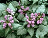 (4.5'' pot/10 count flat) Lamium maculatum 'Beacon Silver' (Deadnettle) Silver leaves with green edge, pink flowers in spring. Light foot traffic.