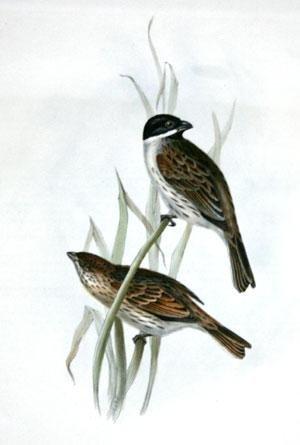 - Marsh Bunting - Emberiza palustris