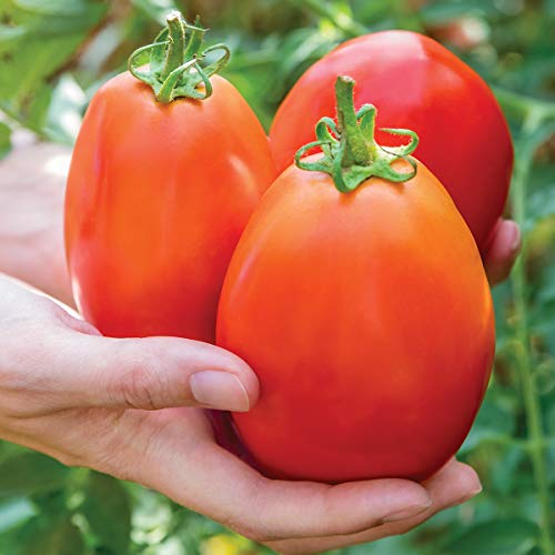 Burpee 'Gladiator' Hybrid | Red Sauce & Paste Tomato | 25 Seeds ()