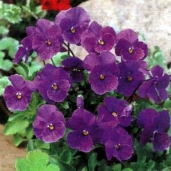 - Outsidepride Viola Admiration - 1000 Seeds