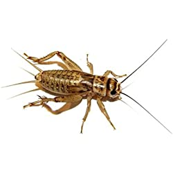 "100 Live Adult (1"") Crickets (Acheta Domesticus)(Brown Cricket)"