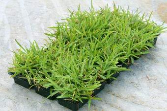 Gulf Kist 'Classic' St Augustine Grass Plugs - 36 Count by Gulf Kist (Image #8)