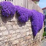 New Aubrieta Deltoidea - Details About Rockcress , PURPLE Flower , Perennial , 75 + SEEDS !