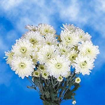 Amazon Globalrose 36 Fresh Cut White Chrysanthemum Cushion