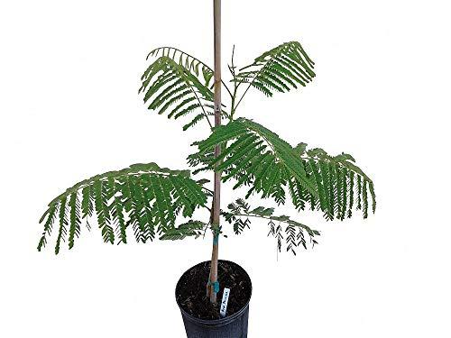 PlantVine Delonix regia, Royal Poinciana, Flamboyant Tree, Flame Tree - Extra Large, Bush - 12-14 Inch Pot (7 Gallon), Live Plant by PlantVine (Image #3)