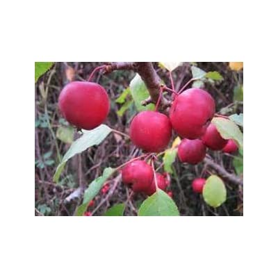 5 Gallon Size, CRABAPPLE Callaway- Large red Fruit, Excellent Disease Resistance : Garden & Outdoor